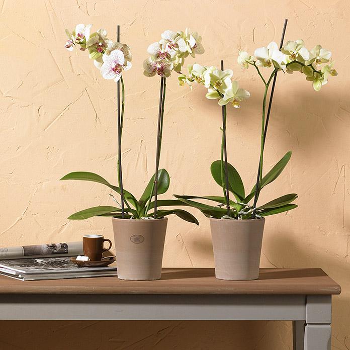 pot pour orchid es sk dover gris sable acheter chez bauhaus. Black Bedroom Furniture Sets. Home Design Ideas